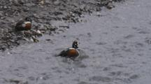 Harlequin Duck Pair At Water's Edge