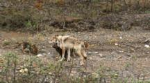 Wolf Pups Greet Arriving Female