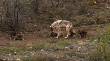 Wolf Pups Play Near Female
