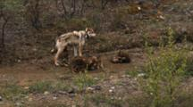 Wolf Pups Play Near Female