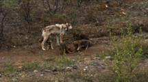 Wolf Pups Play, Female Leaves