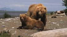 Pair Of Grizzly Bears At Water's Edge