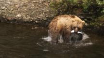 Grizzly Bear Fishing In Slow Motion, Carries Fish To Shore