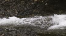 Salmon Jump In Alaska River