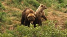 Grizzly Bear Mother And Cub In Wind