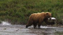 Grizzly Bears Fishing In Slow Motion