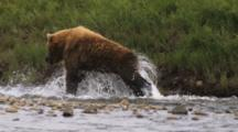 Grizzly Bear Fishing In Slow Motion