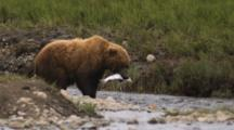 Grizzly Bear Fishing In Slow Motion, Picks Up Second Salmon