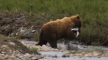 Grizzly Bear Fishing In Slow Motion, Two Salmon In Mouth