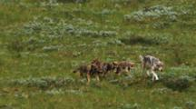 Mother Wolf With Boisterous Pups