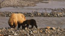 Grizzly Bear And Cub Feed On Salmon In Rocky Stream
