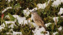 White-Crowned Sparrow On Snowy Ground
