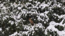 Snow Falls On Lone Fox