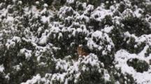 Snow Falls On Lone Fox, Walks Away