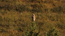 Short Eared Owl Perches In Top Of Tree, Looking Around