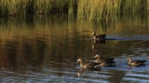 Greater White-Fronted Geese Swim Near Reeds On Shoreline