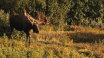 Huge Moose Enters Opening In Bush