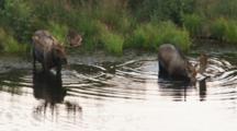 Moose Pair At Lake's Edge