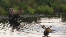 Moose Pair At Lake's Edge, One Swims