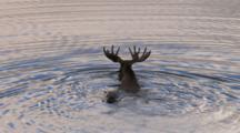 Moose Swims In Slow Motion Toward Shore