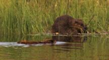 Beaver Swims Near Another On Shore