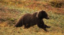 Grizzly Bear Cub Runs Across Tundra, Feeds