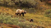Grizzly Bear Feeds On Tundra While Cubs Play
