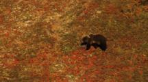 Grizzly Cub Walks Across Tundra