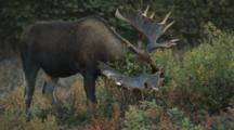 Bull Moose Sheds Antlers, Rubs Them On Branch