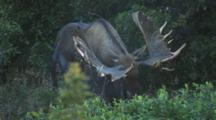 Bull Moose Grazes, Sheds Antlers