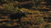 Bull Moose Sheds Antlers