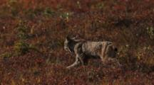 Lynx Walks Across Tundra