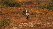 Caribou Among Fall Colors