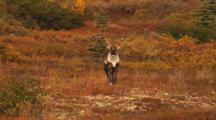 Caribou Among Fall Colors