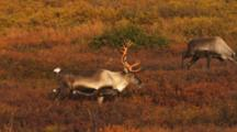 Caribou Pair Grazes Among Fall Colors
