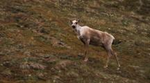 Female Caribou On Hillside, Vocalizes