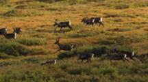 Caribou Herd Runs On Tundra In Slow Motion