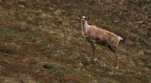 Caribou Climbs Up Hillside
