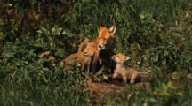 Red Fox Mother Nurses Kits