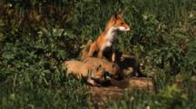 Red Fox Mother Nurses Kits, Walks Away