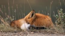 Red Fox Rests, Grooms
