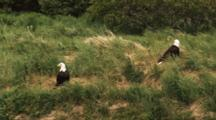 Bald Eagles In Grass