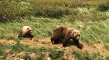 Grizzly Bear With Cub In Windy Meadow