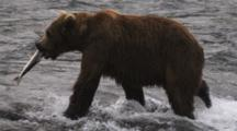 Grizzly Bear Leaves River With Salmon In Mouth
