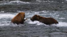 Grizzly Bears Fight Over Salmon In River