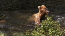 Grizzly Bear Hunts For Salmon In River