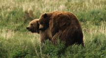 Grizzly Bears Mate In Grass