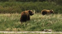 Grizzly Bears After Mating, Male Pursues Female