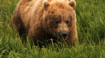 Close-Up Grizzly Feeding On Sedge Grass