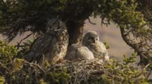 Great Horned Owl With Large Chicks In Nest